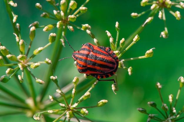 Graphosoma lineatum. bug de bouclier.