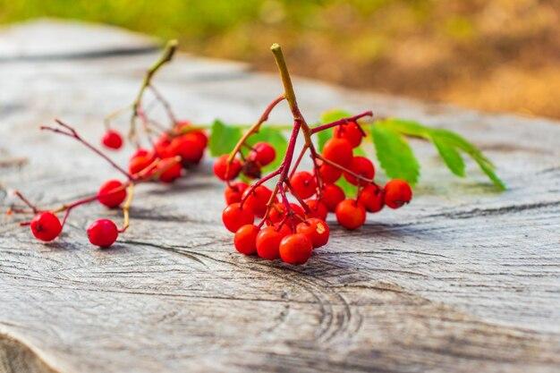Grappe de baies de sorbier rouge isolé sur fond blanc. grappe rouge de baies de rowan avec des feuilles vertes isolées sur fond blanc. bouquet de sorbier rouge mûr isolé sur blanc.