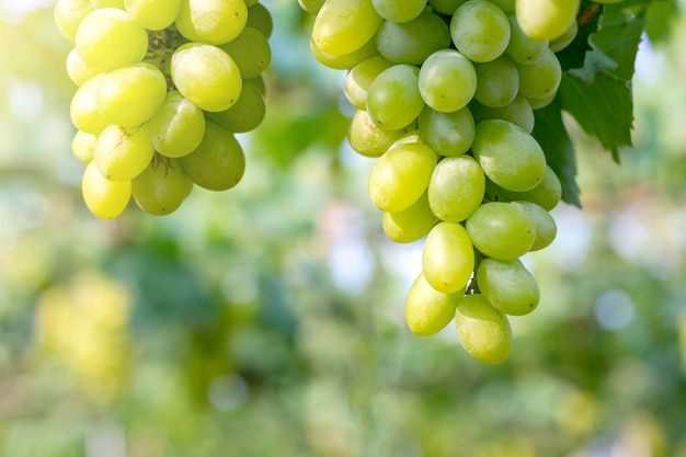 Grappe de raisin blanc sur le terrain