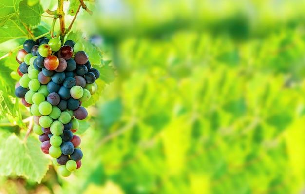 Grappe de raisin bleu sucré et savoureux sur la vigne avec fond d'espace libre