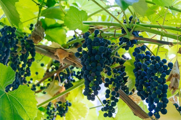 Grappe de raisin dans un jardin flou