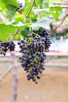 Grappe de raisin fruit dans vignoble