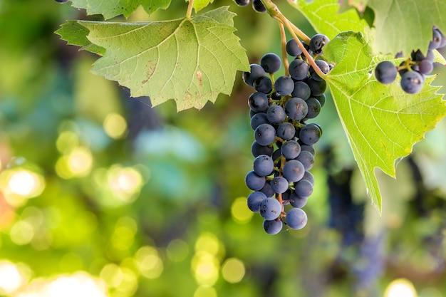 Grappe de raisin mûrissement bleu foncé éclairée par le soleil sur l'espace de copie floue bokeh coloré.
