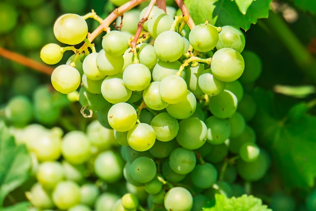 Une grappe de raisin pousse dans le jardin. baies de raisin vert dans la lumière du jour. millésime dans le pays.