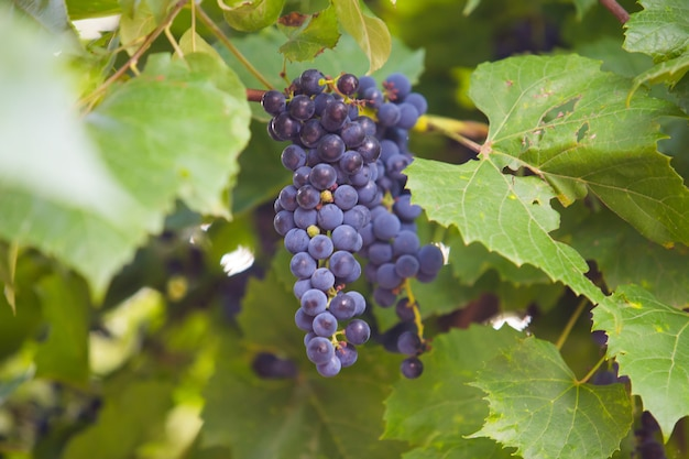 Grappe de raisin sur la vigne au soleil