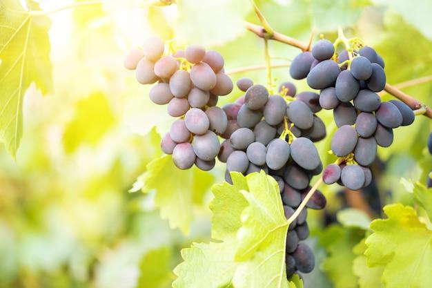Grappe de raisins bleus mûrs sur branche