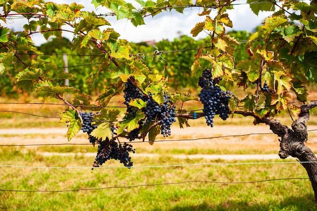 Grappe de raisins colorés accrochés au vignoble italien dans une journée d'été