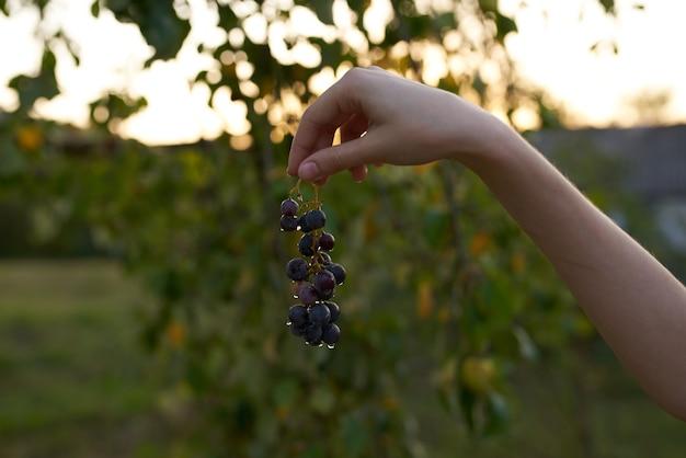 Grappe de raisins nature fruits feuilles vertes