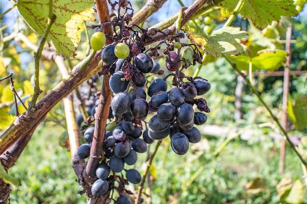 Une grappe de raisins pourris secs. la guêpe se repose sur des raisins