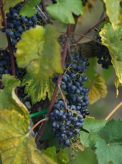 Grappe de raisins qui poussent dans un vignoble, toscane, italie