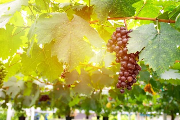 Grappe de raisins rouges frais sur la vigne dans le vignoble.