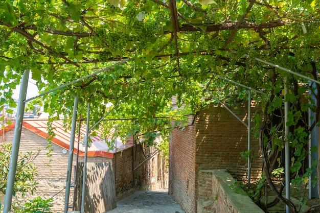 Grappe de raisins verts frais sur la vigne avec des feuilles vertes dans le vignoble. fruit