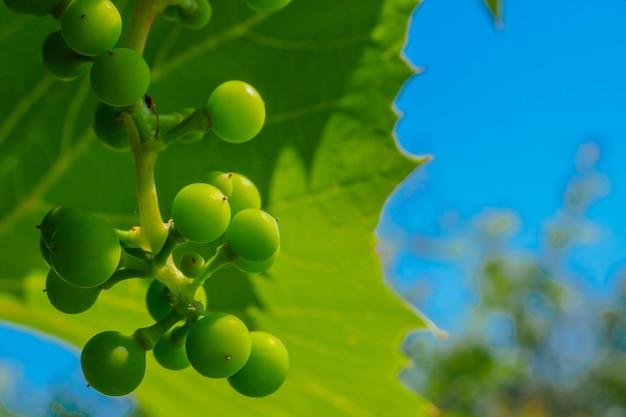 Une grappe de raisins verts non mûrs sur fond de feuilles de vigne et de ciel bleu