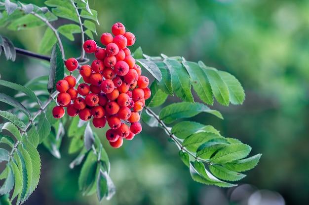 Grappe de sorbier rouge sur feuilles vertes