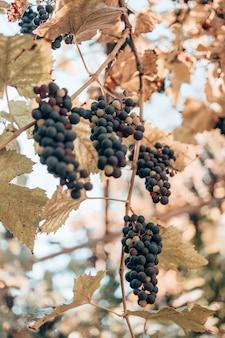 Grappes luxuriantes de raisins de cuve accrochées à la vigne