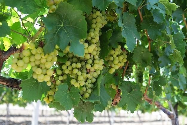 Des grappes de raisin mûrissent sur la vigne.