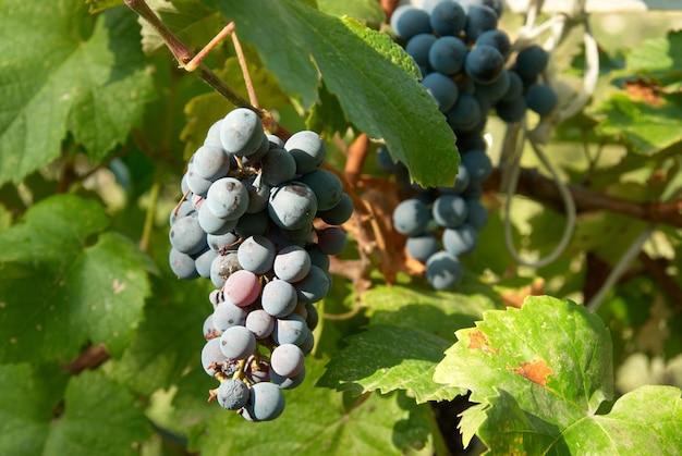 Grappes de raisin noir aux feuilles vertes