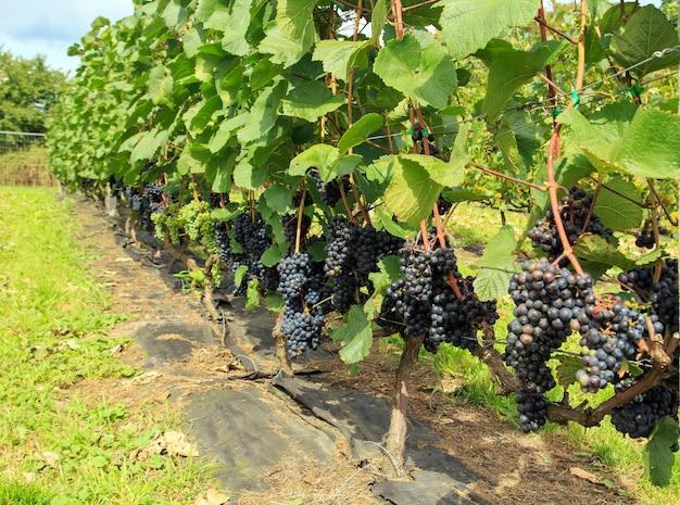 congélation de raisins frais