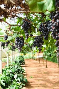 Des grappes de raisins mûrs avant la récolte.