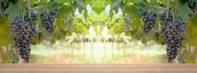 Des grappes de raisins rouges sont suspendues à une vieille vigne dans la lumière du matin.