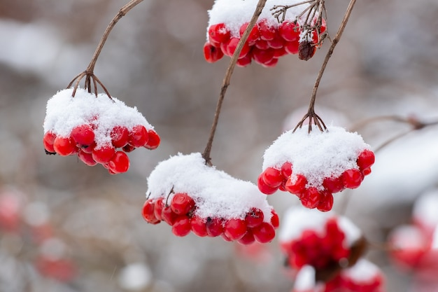 Grappes de viorne enneigées aux fruits rouges. baies rouges de viorne en hiver