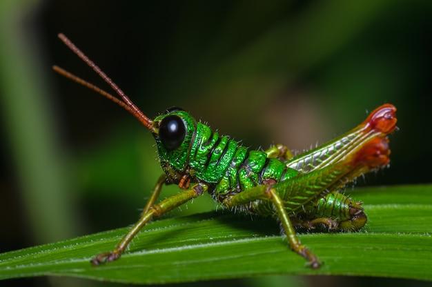 Grasshopper perché tranquillement sur l'herbe 0