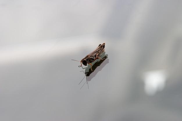Grasshopper regardant la réflexion