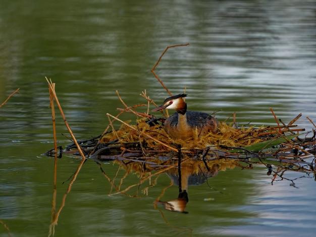 Grèbe huppé (podiceps cristatus) dans le lac pendant la journée