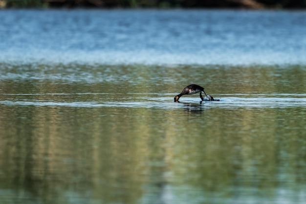 Grèbe pêchant à l'aube dans un lagon