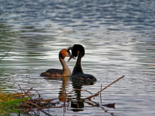 Grèbes huppés nageant dans le lac