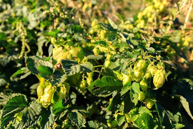 Green hops sur une plante à la journée ensoleillée