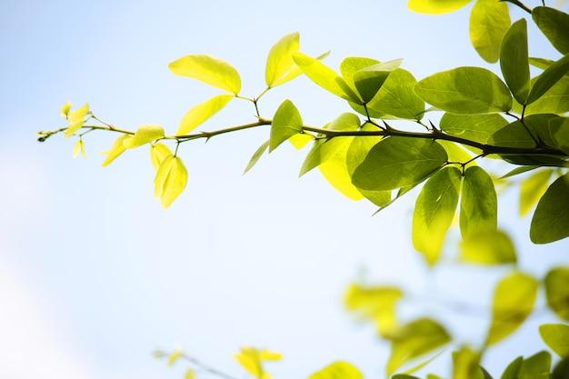 Green leafs branch contre sur le fond de ciel bleu.