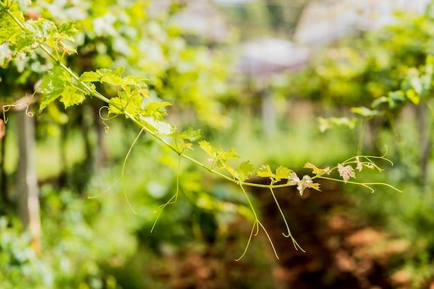 Green soft pic raisin dans le jardin.