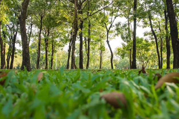 Green sward park au soleil du matin avec de grands arbres en plein air au parc lumphini, bangkok