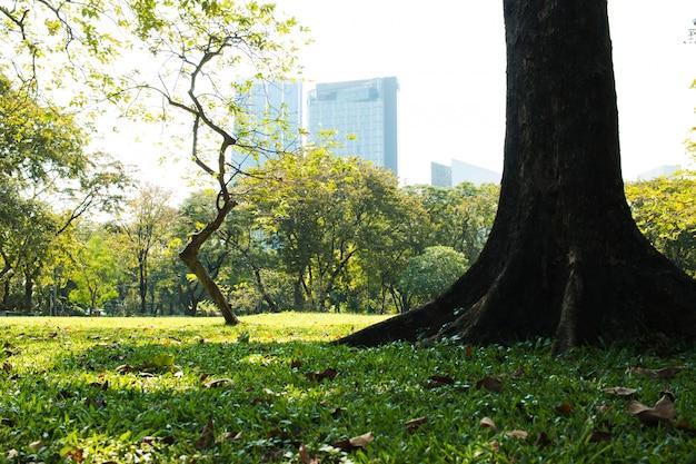 Green sward park au soleil du matin avec de grands arbres en plein air