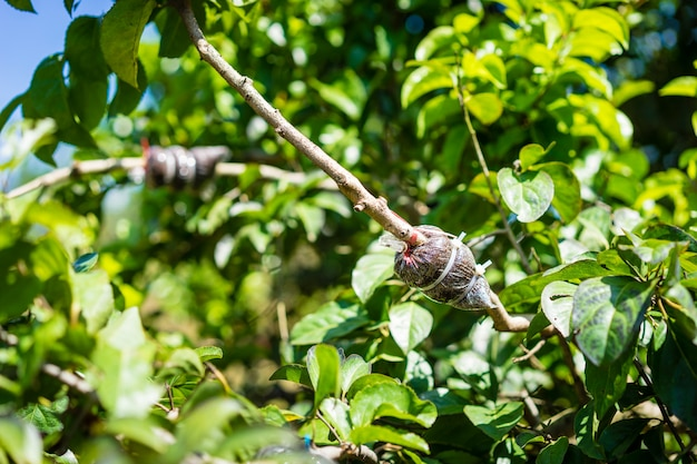 Greffage dans la branche d'un arbre dans le jardin