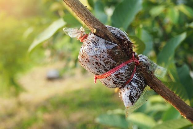 Greffier de goyave dans une ferme agricole