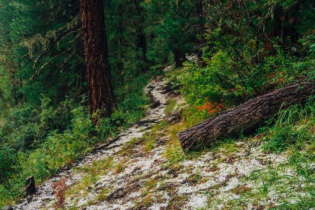 Grêle sur sentier dans une forêt de conifères sombre. paysage boisé atmosphérique avec une riche flore forestière.