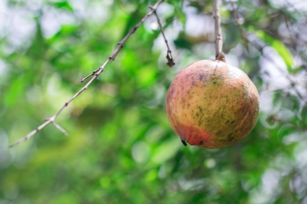 Grenade mûre sur une branche d'arbre