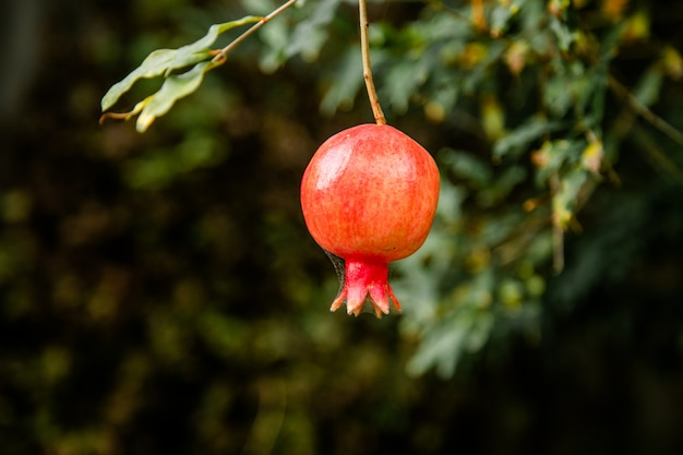 Grenade presque mûre suspendue dans l'arbre