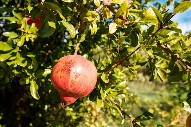 Grenades mûrissant suspendues à l'arbre au soleil dans un verger, fruits d'automne pleins de vitamines.