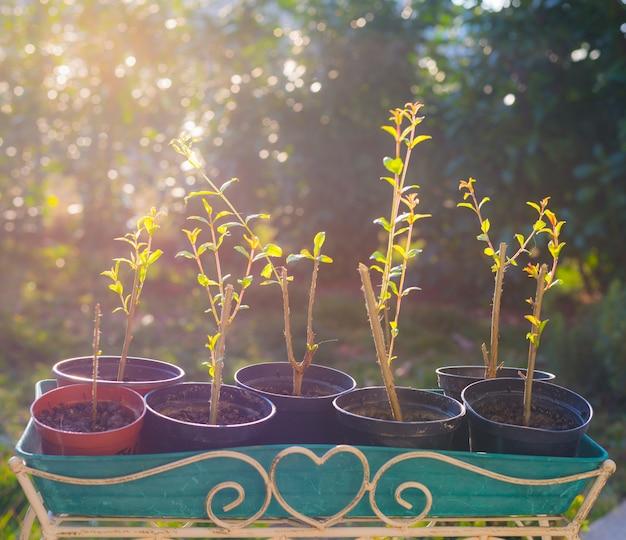Grenades organiques faites maison dans un vase, rétro-éclairage
