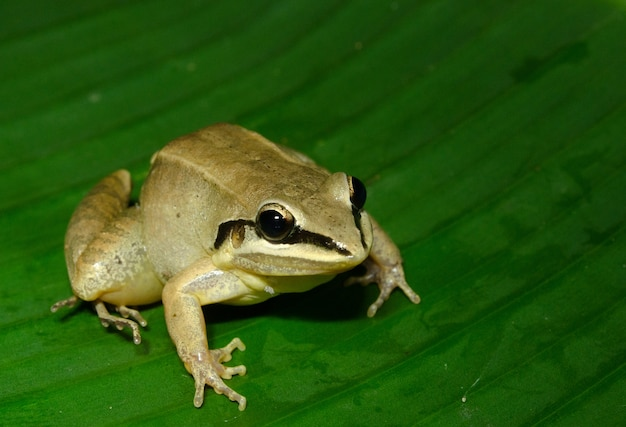 La grenouille arboricole à taches blanches