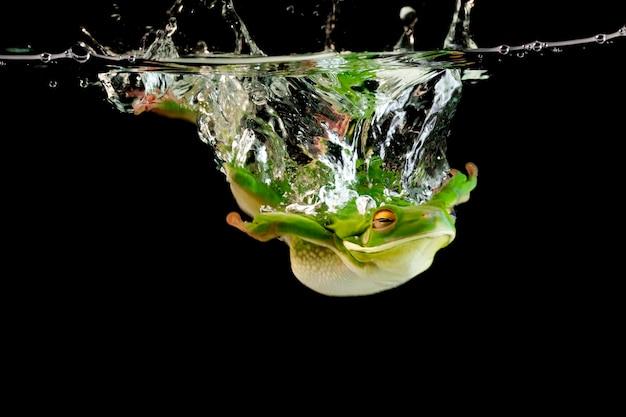 Grenouille aux lèvres blanches dans l'eau