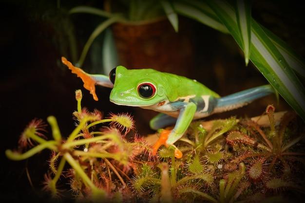 La grenouille aux yeux rouges désire toucher la dangereuse plante carnivore