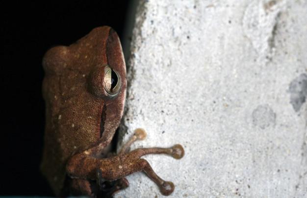Grenouille brune (litoria ewingii) ou rainette commune sur un étang de ciment