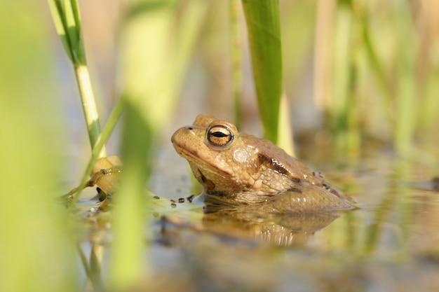 Grenouille dans un étang pendant la saison des amours
