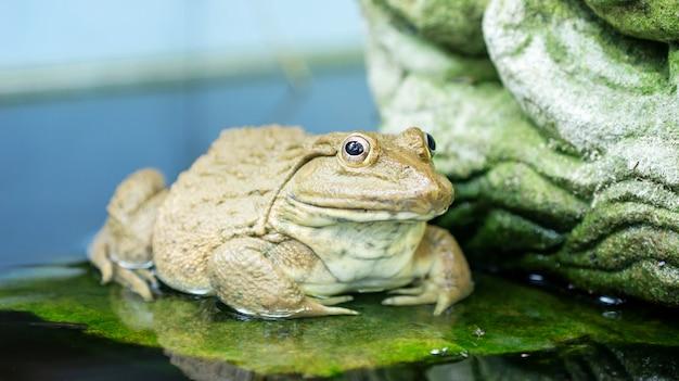 Une grenouille dans un étang.