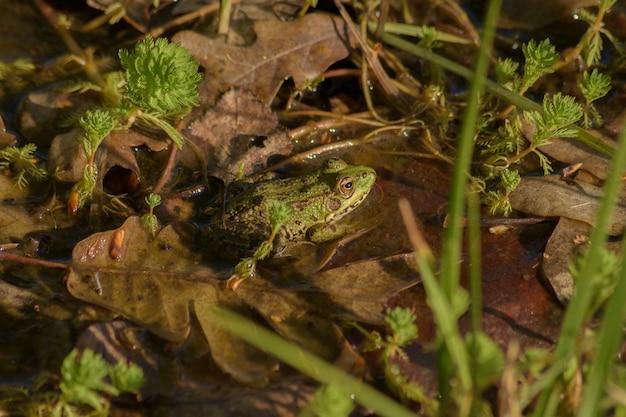 Une grenouille dans un étang