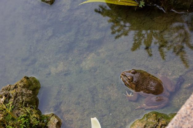 Grenouille dans le fond de la nature de l'eau